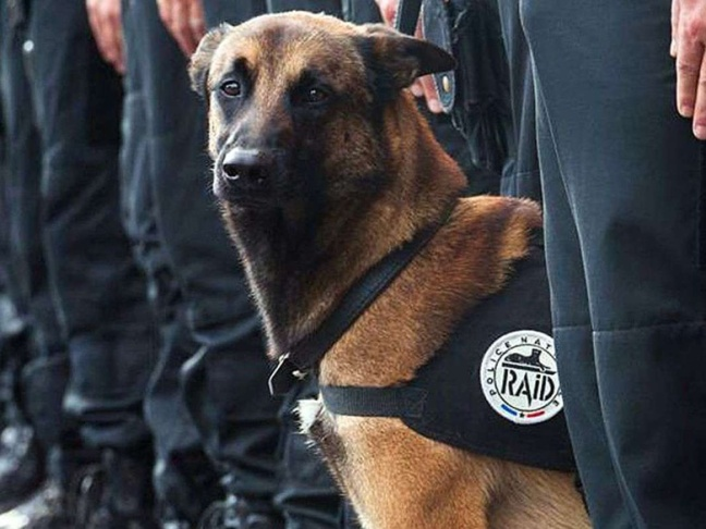 Les-Internautes-emus-par-la-mort-de-Diesel-chien-policier-tue-lors-de-l-assaut-du-Raid-a-Saint-Denis_exact780x585_l